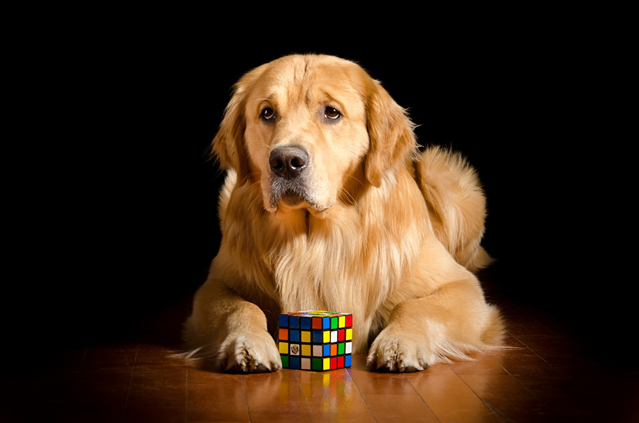 Фото Золотистый ретривер Собаки куб лежачие Рыжий Лапы смотрит животное собака Кубик кубики лежа лежат Лежит рыжая рыжие лап Взгляд смотрят Животные