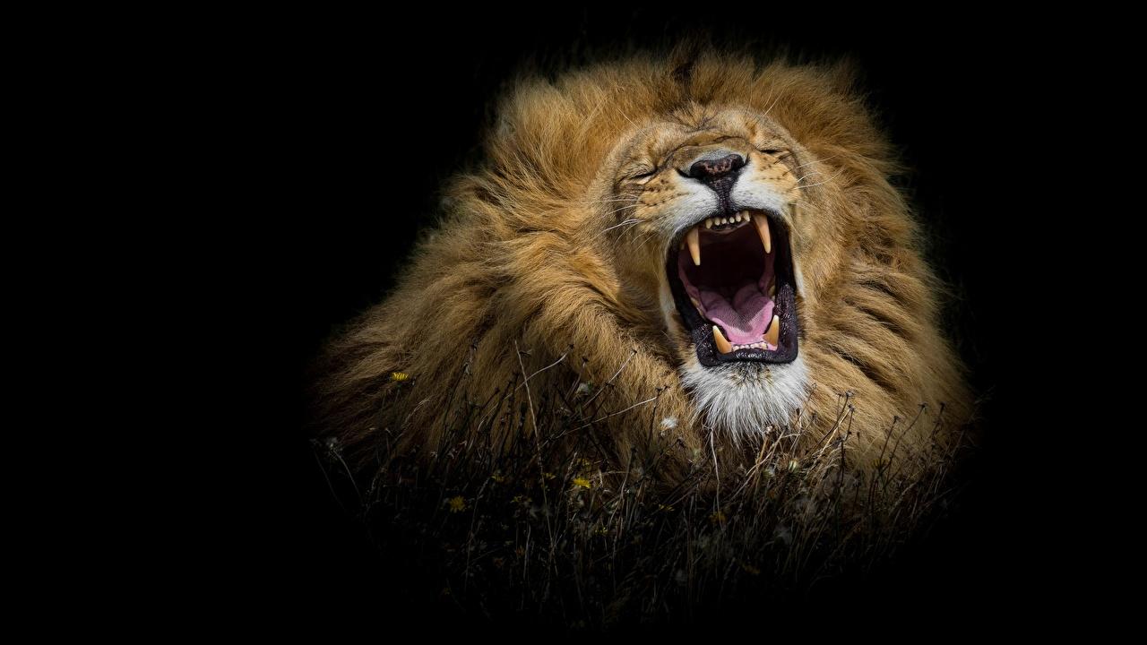 Фото Львы Клыки злость Животные Черный фон лев злой рычит Оскал животное на черном фоне