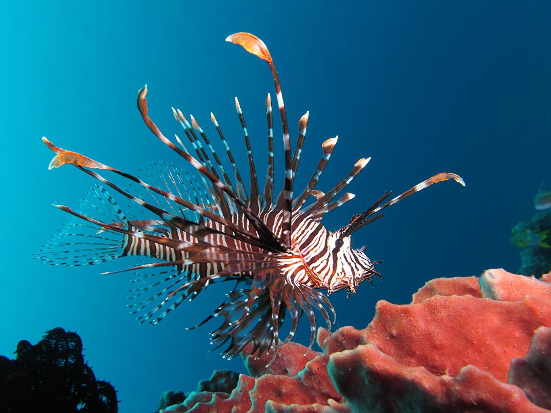 Фотография Крылатки Рыбы Подводный мир Кораллы животное крылатка Животные