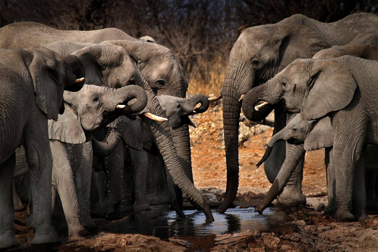 Фотографии Слоны Детеныши Пьет воду Стадо животное слон Животные