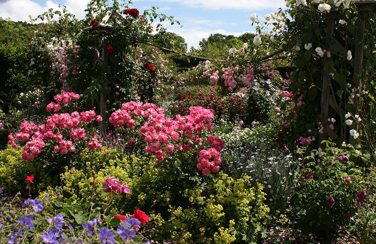 Картинки Германия Rosemoor Gardens Devon Розы Природа Сады Кусты роза кустов