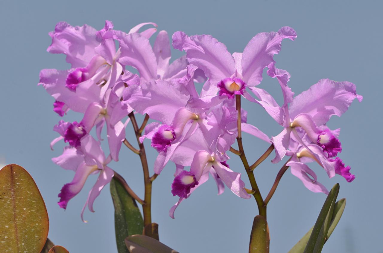 Фото орхидея фиолетовые Цветы Серый фон Крупным планом Орхидеи фиолетовых фиолетовая Фиолетовый цветок вблизи сером фоне