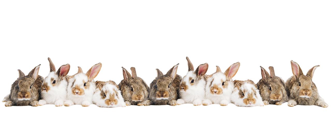 Фото Кролики Много Животные Белый фон