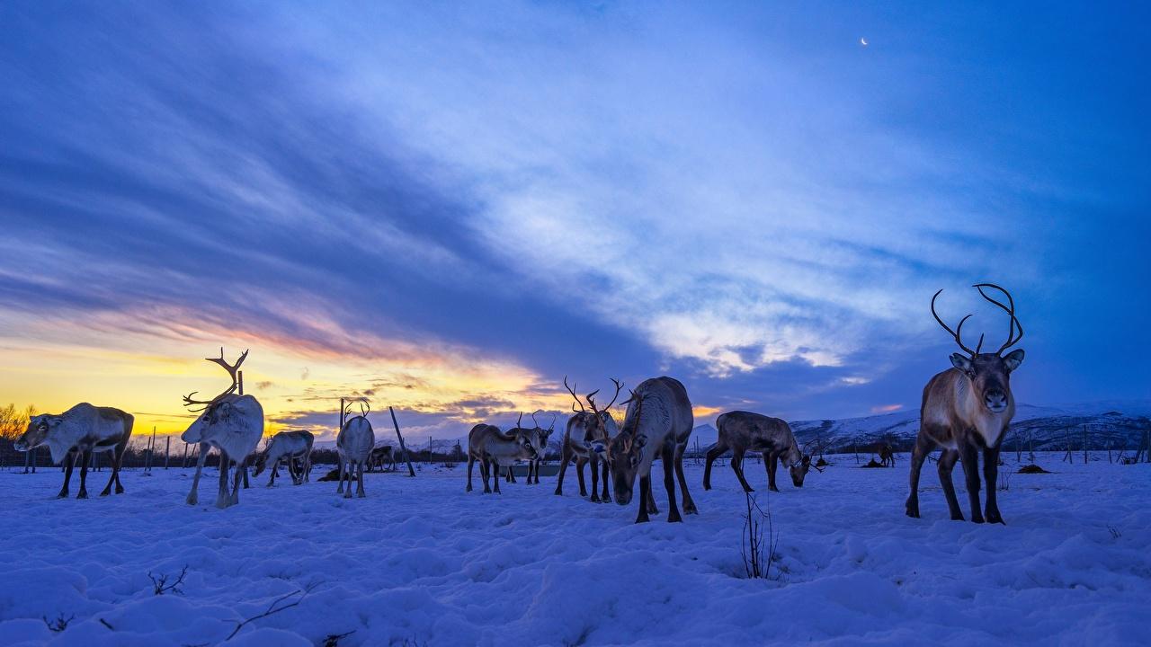 Обои для рабочего стола Олени Reindeer Стадо Небо Снег Вечер животное снега снегу снеге Животные