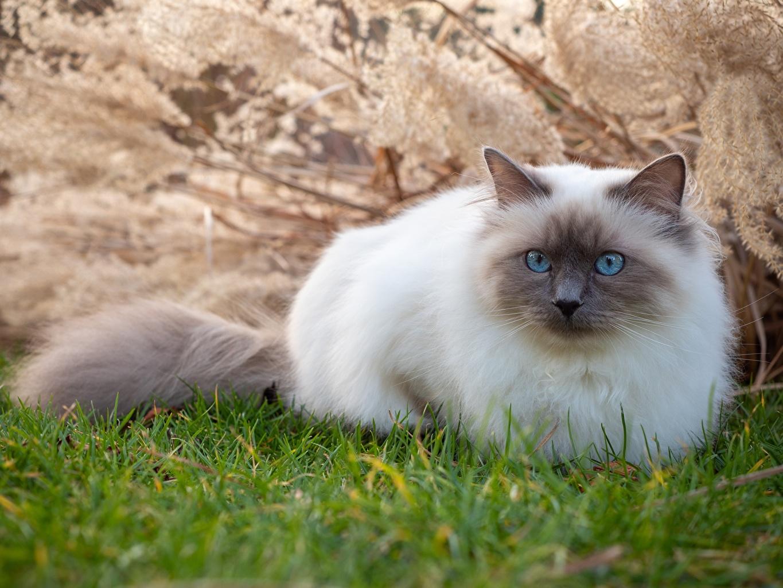 Фотографии коты Birman траве Взгляд Животные кот кошка Кошки Трава смотрит смотрят животное