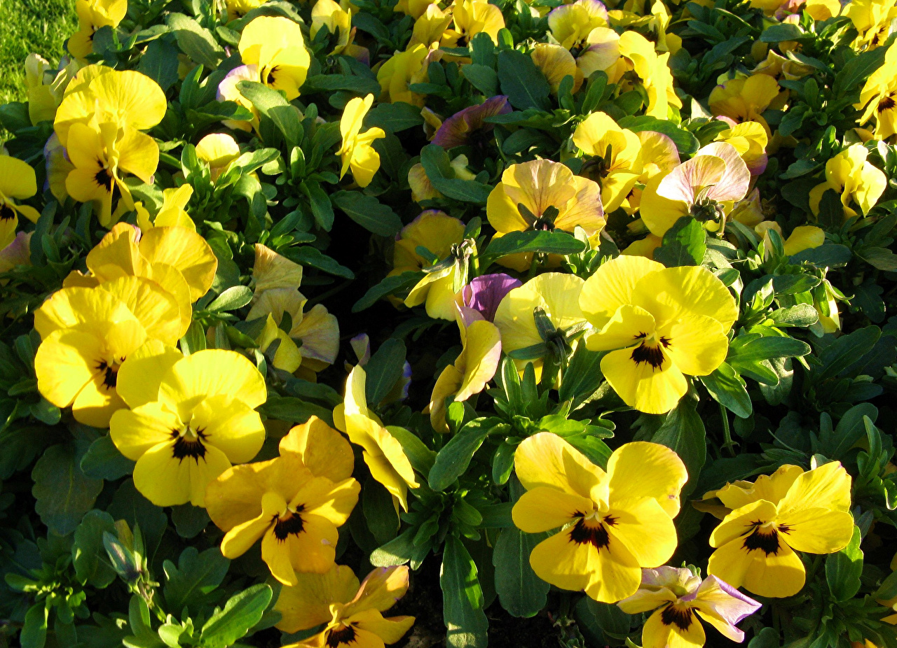 Обои Желтый Анютины глазки Цветы вблизи желтых желтые желтая Фиалка трёхцветная Крупным планом
