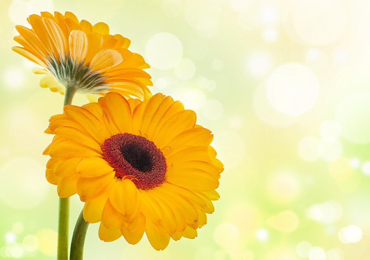 Фотография желтая гербера цветок вблизи желтые Желтый желтых Герберы Цветы Крупным планом