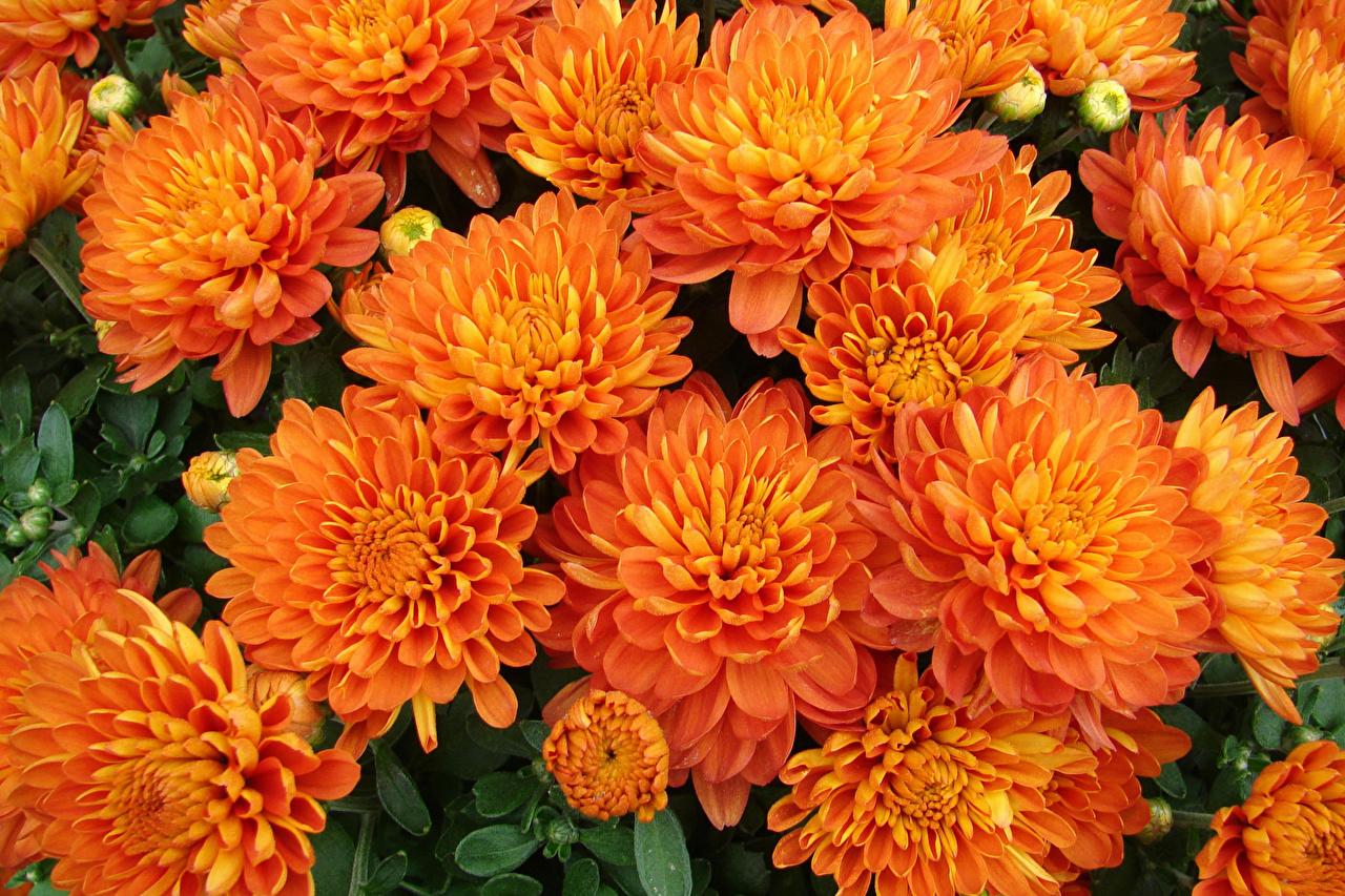 Фото оранжевые цветок Хризантемы Бутон Крупным планом оранжевая Оранжевый оранжевых Цветы вблизи
