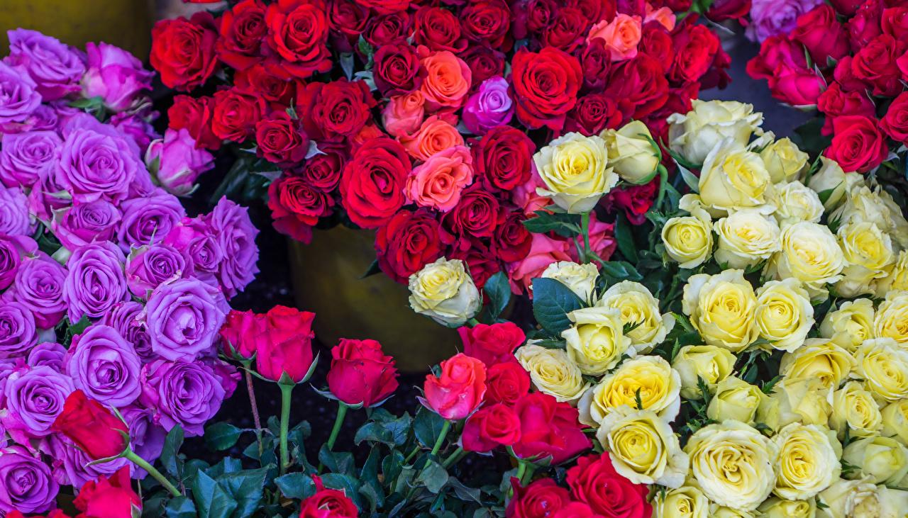 Фотографии Разноцветные роза Цветы Много Розы цветок