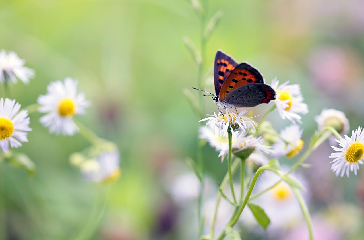 Обои для рабочего стола бабочка насекомое животное Бабочки Насекомые Животные