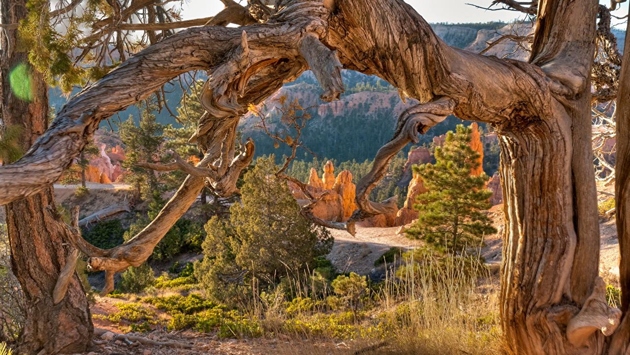 Фотография америка Bryce Canyon Utah Природа парк дерево США штаты Парки дерева Деревья деревьев