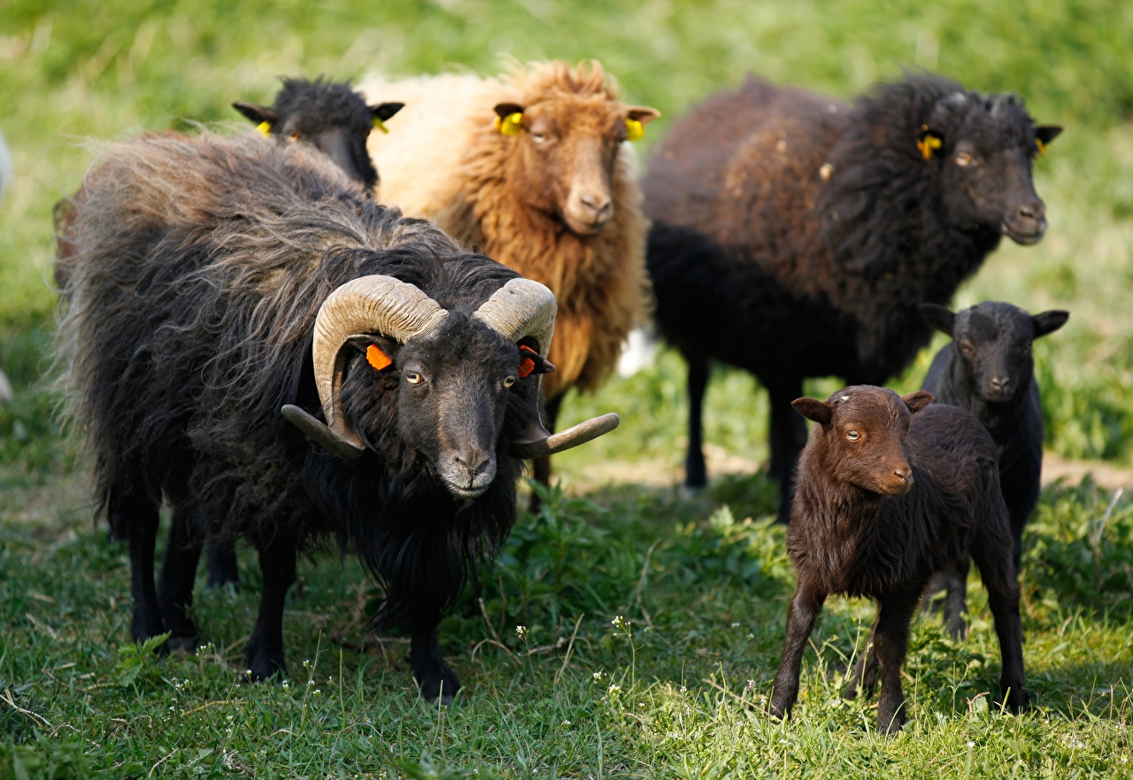 Фотография Овцы Детеныши Рога траве животное с рогами Трава Животные