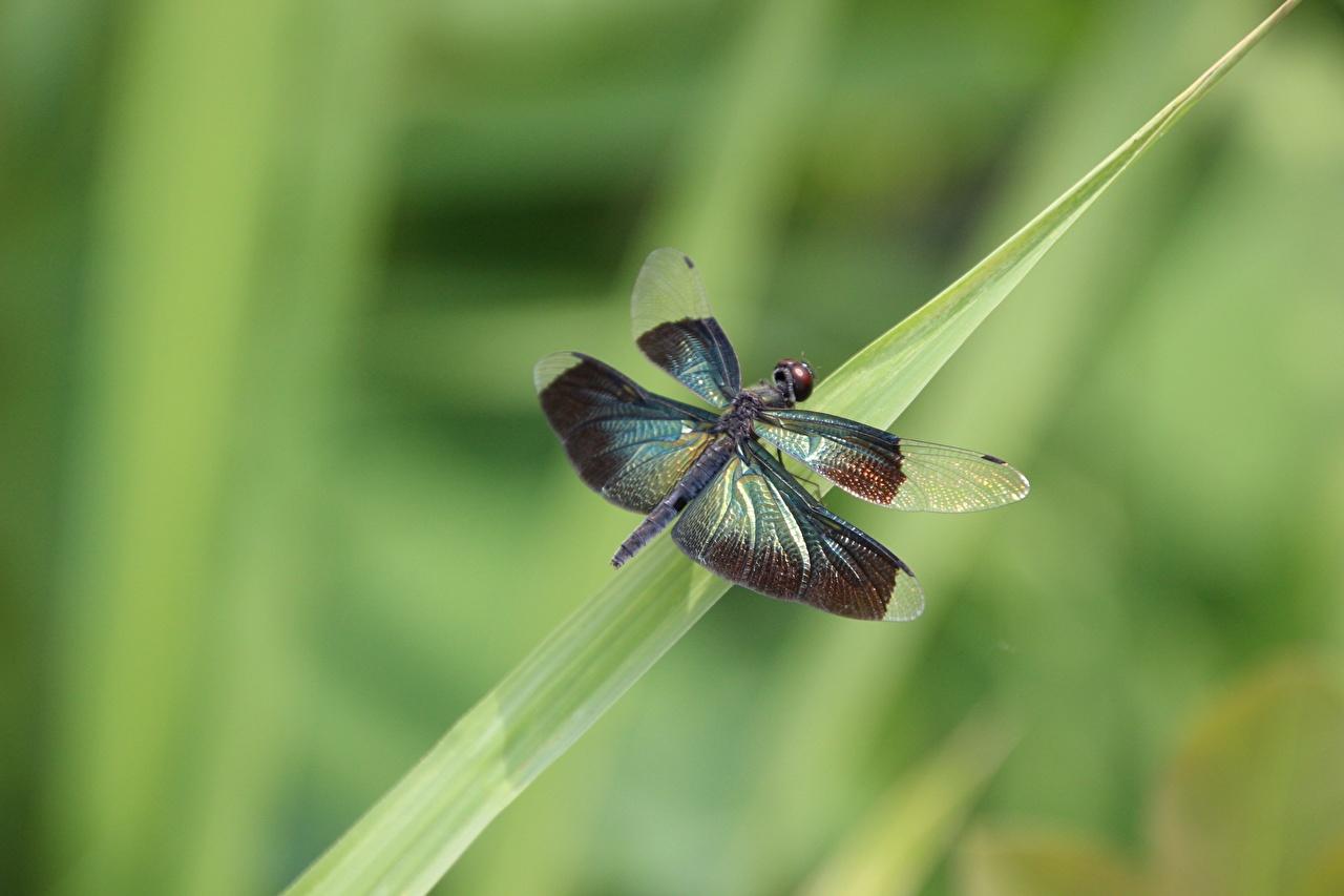 Фото Стрекозы насекомое боке вблизи животное Насекомые Размытый фон Животные Крупным планом