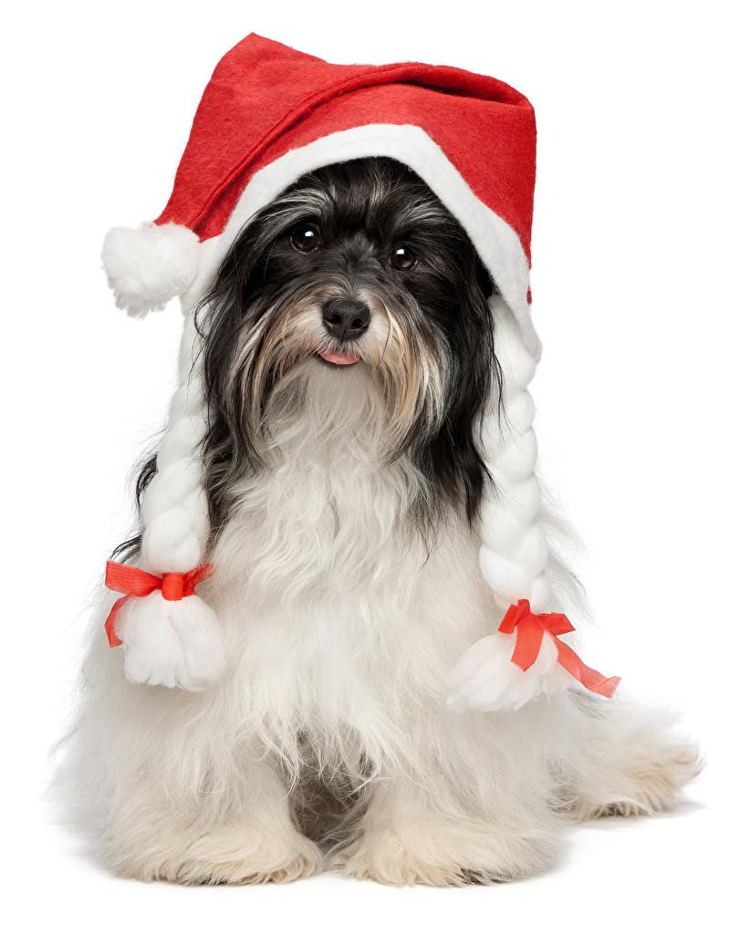 Фото Гаванский бишон Собаки Новый год Шапки Животные Белый фон собака Рождество шапка в шапке животное белом фоне белым фоном