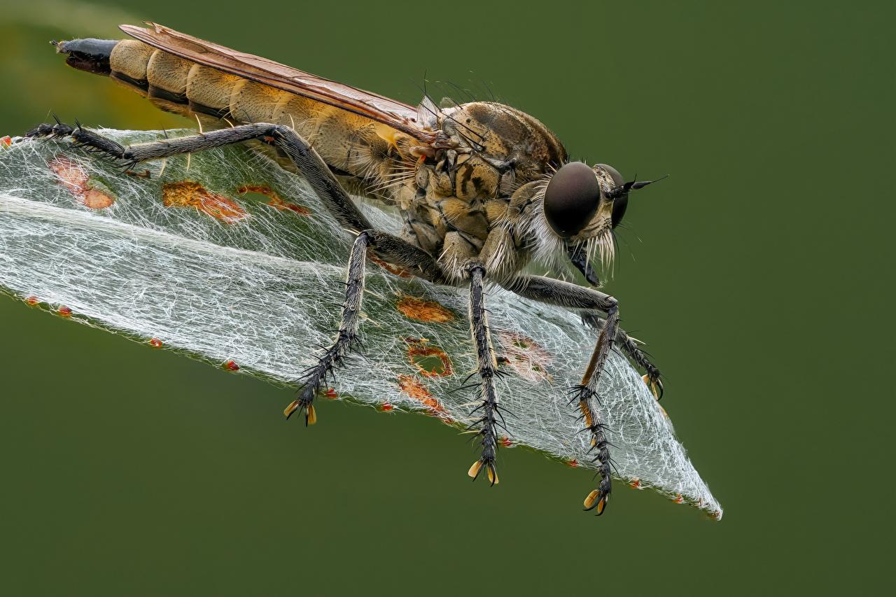 Картинки Насекомые Листья machimus вблизи животное насекомое лист Листва Животные Крупным планом