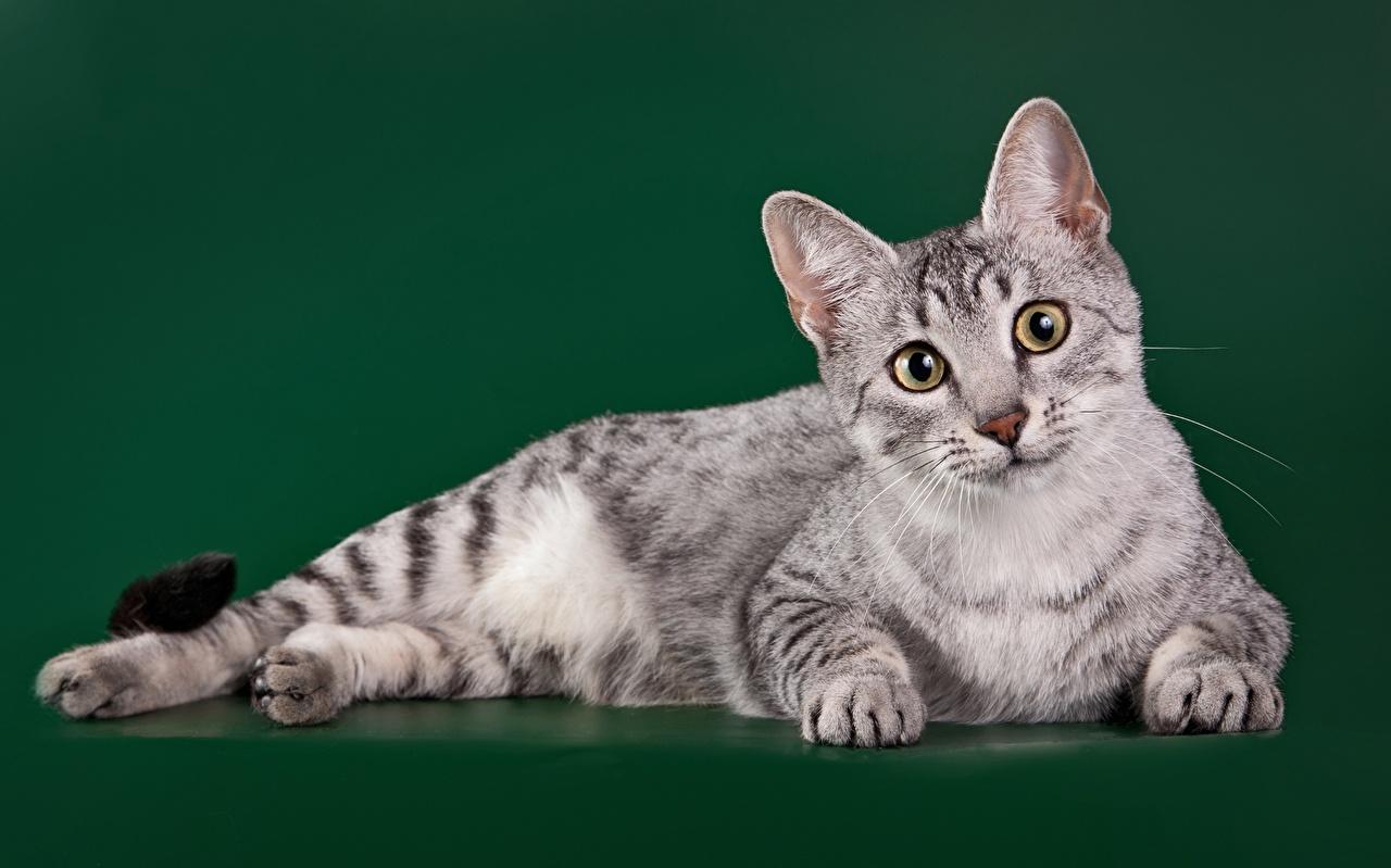 Картинка кошка Egyptian Mau смотрит животное Цветной фон кот коты Кошки Взгляд смотрят Животные