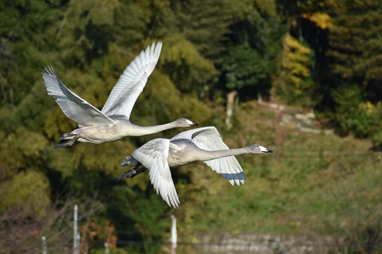 Фотография Гуси Птицы Двое Полет Животные 2 вдвоем летящий