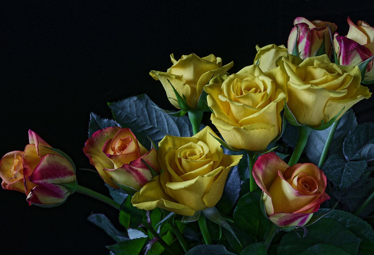Обои для рабочего стола Розы Желтый Цветы Черный фон роза желтых желтая желтые цветок на черном фоне