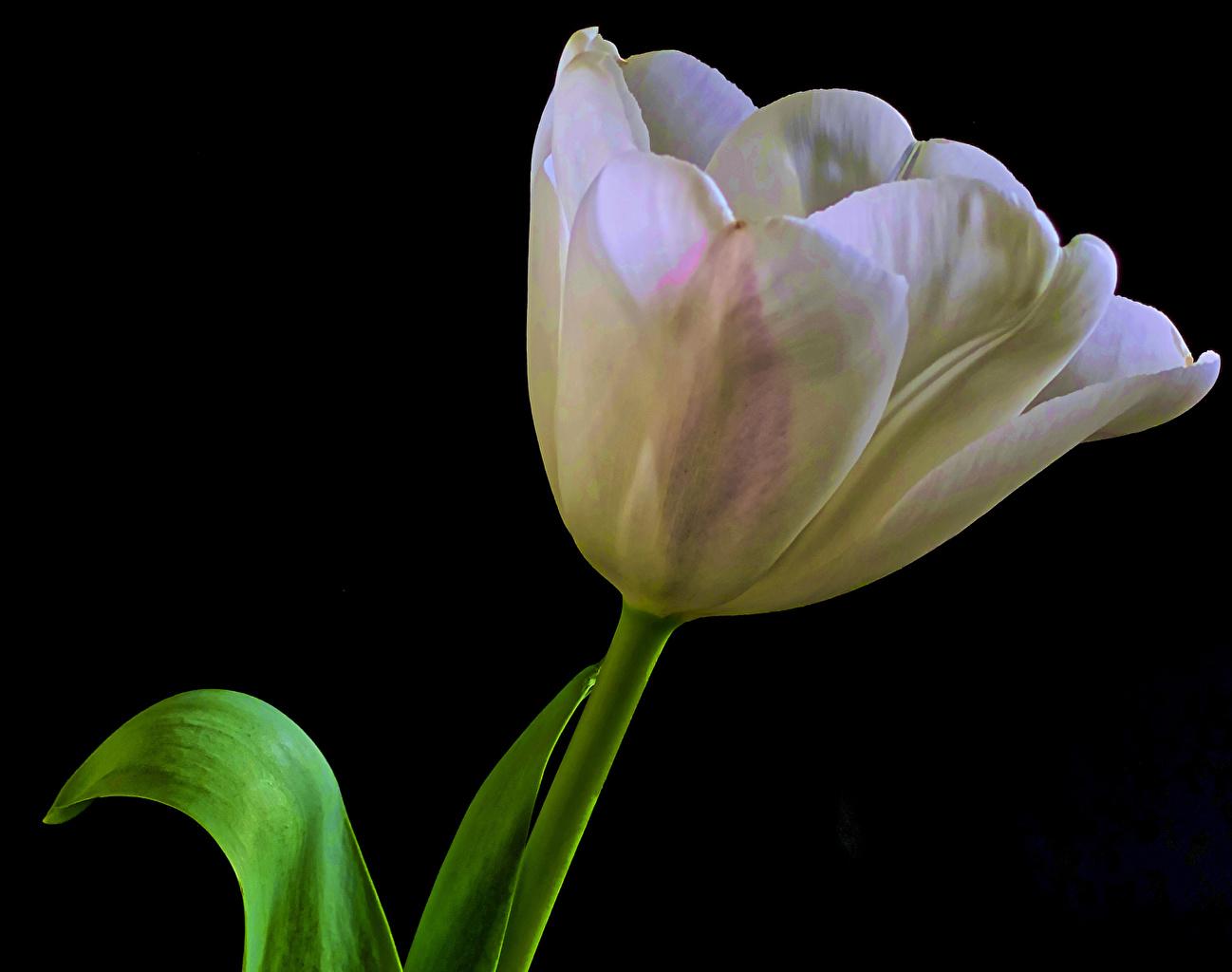 Картинка Белый Тюльпаны цветок вблизи Черный фон белые белая белых тюльпан Цветы на черном фоне Крупным планом