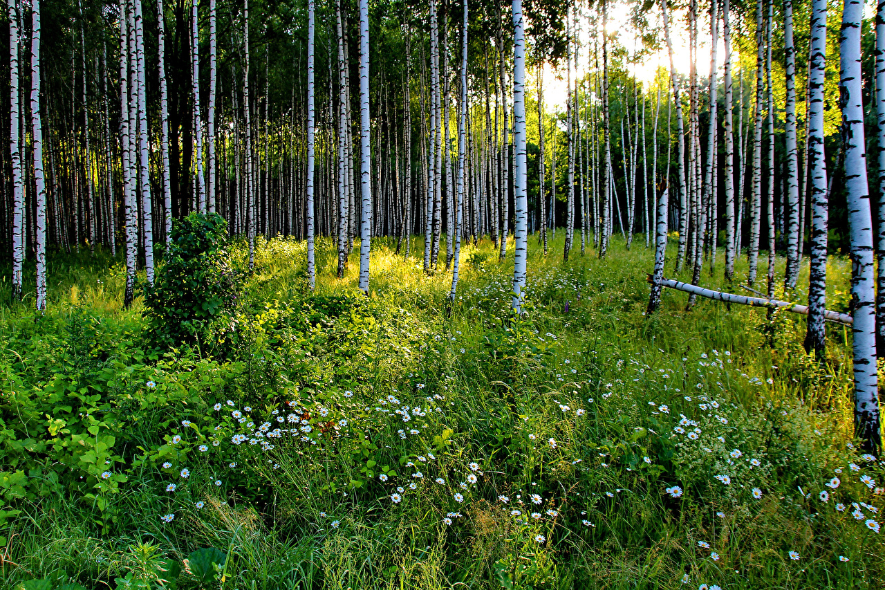 Обои Россия Березы Природа Леса Ромашки Трава
