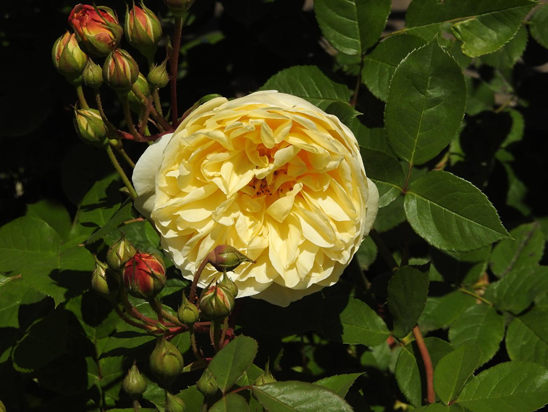 Фотография роза Желтый цветок Бутон Крупным планом Розы желтых желтая желтые Цветы вблизи