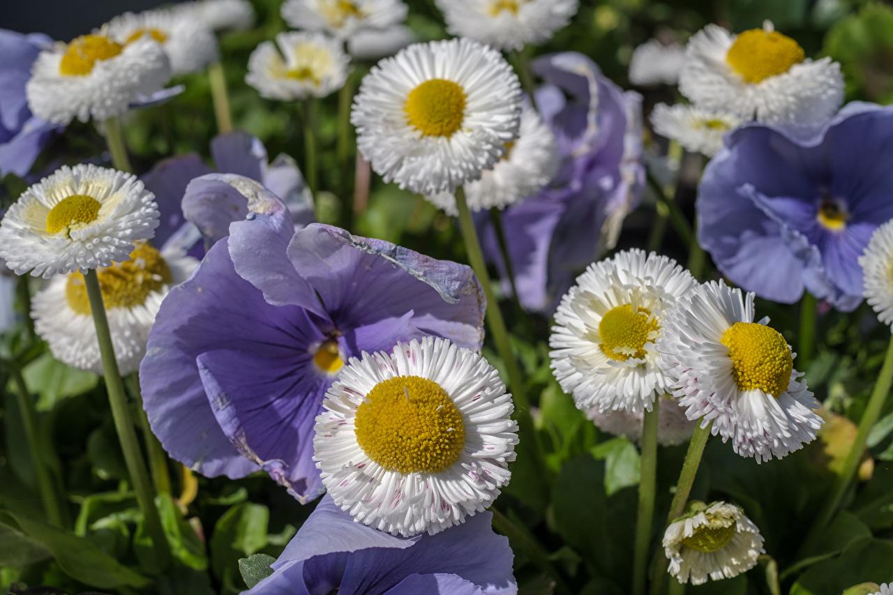 Картинка Анютины глазки Цветы Маргаритка Крупным планом Фиалка трёхцветная цветок вблизи
