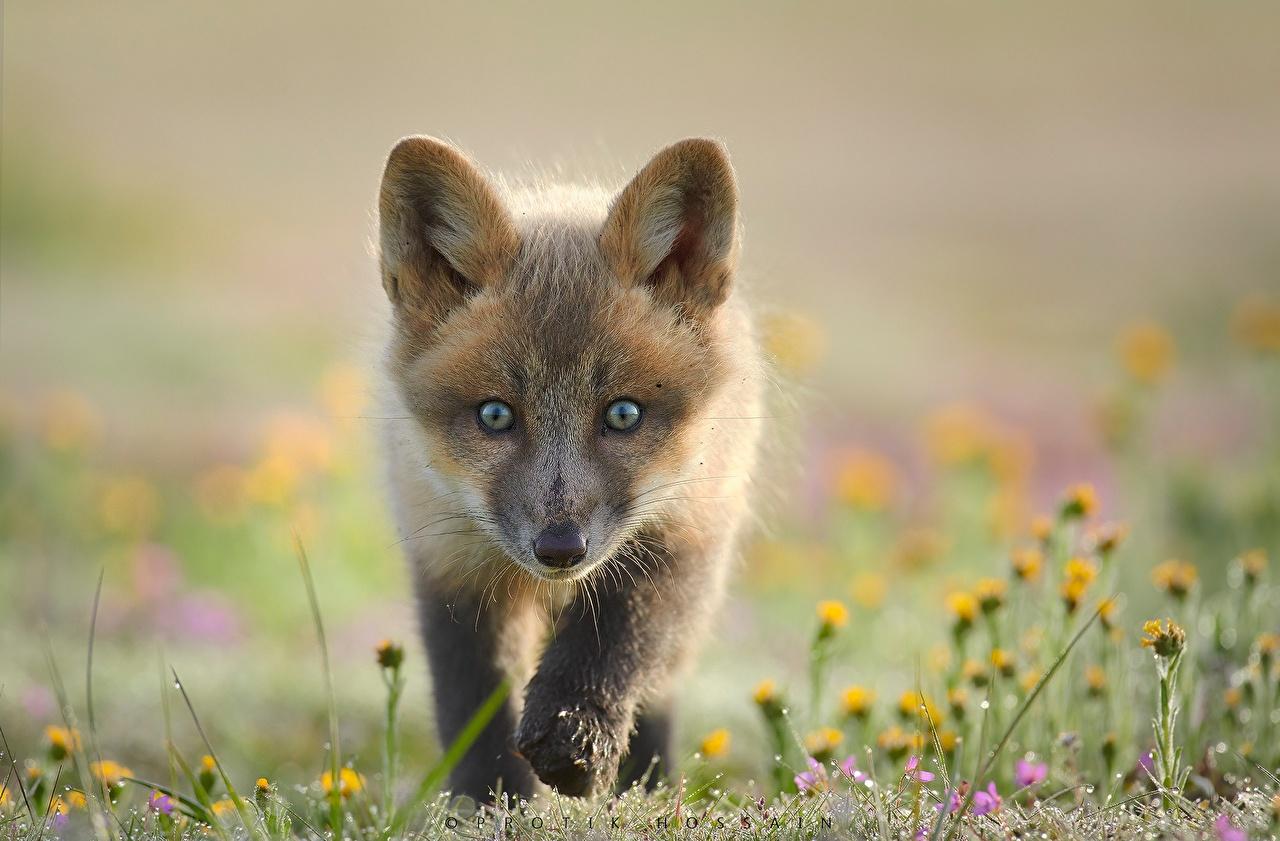 Фотография Лисица Детеныши Размытый фон смотрит Животные Лисы боке Взгляд смотрят животное