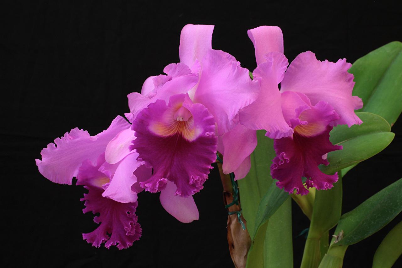 Фото розовая Орхидеи Цветы Черный фон Крупным планом розовых розовые Розовый орхидея цветок вблизи на черном фоне