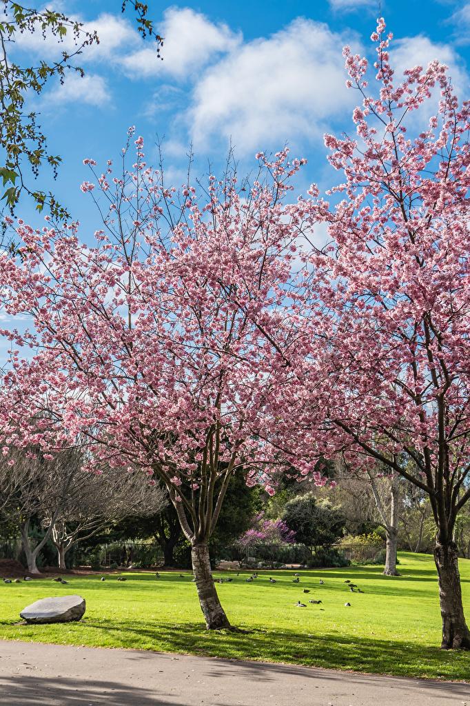 Обои для рабочего стола калифорнии америка Huntington Beach Park Природа весенние Парки газоне Цветущие деревья  для мобильного телефона Калифорния США штаты Весна парк Газон