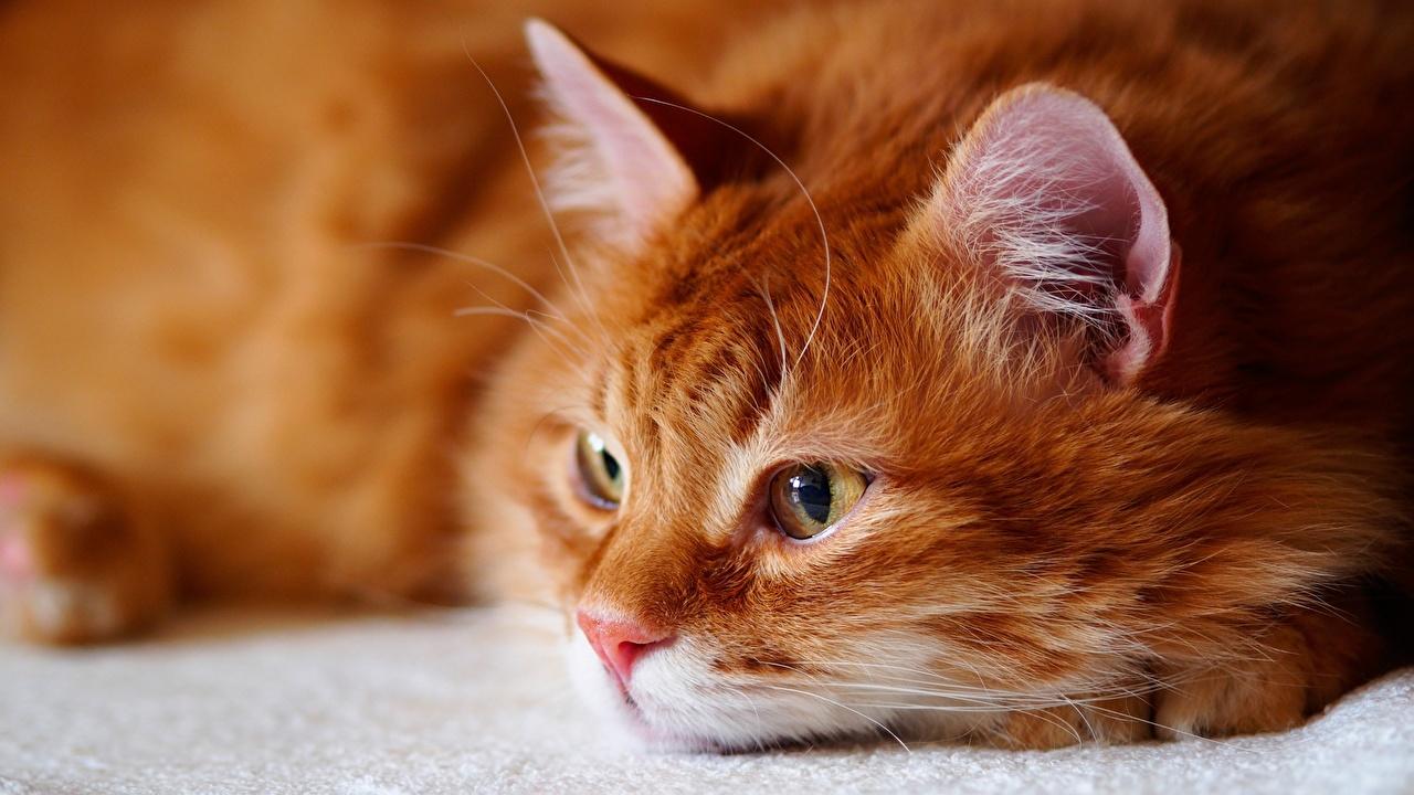 Фотография Кошки рыжая морды Взгляд животное кот коты кошка рыжие Рыжий Морда смотрит смотрят Животные