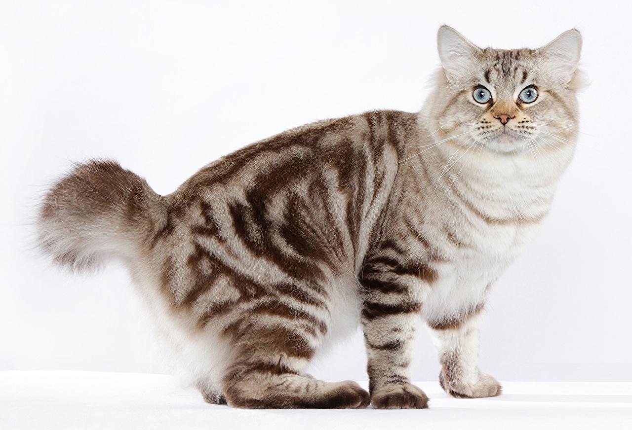 Обои для рабочего стола кот american bobtail животное сером фоне коты Кошки кошка Животные Серый фон