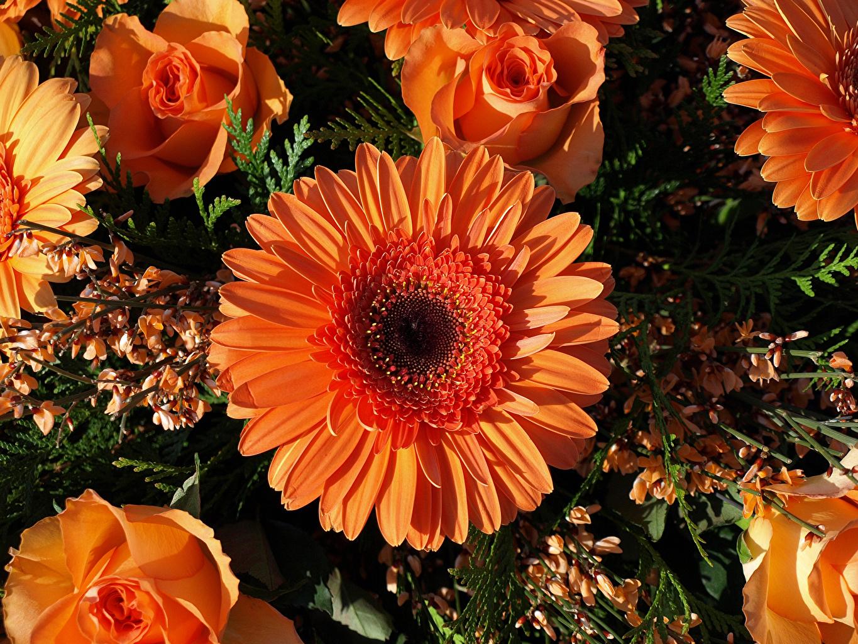 Фотография Розы Герберы Оранжевый Цветы Крупным планом вблизи