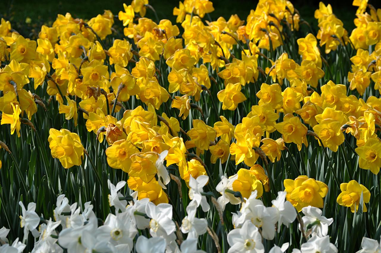 Обои Желтый Цветы Нарциссы вблизи Крупным планом
