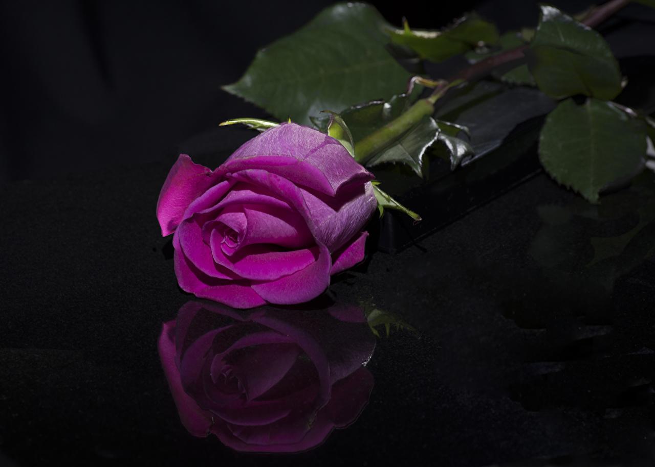 Картинка роза Розовый Цветы Отражение на черном фоне Крупным планом Розы розовая розовые розовых цветок отражении отражается вблизи Черный фон
