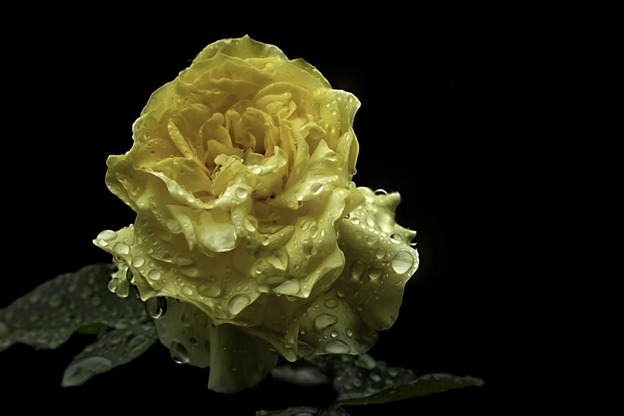 Обои для рабочего стола Розы желтая Капли Цветы вблизи Черный фон роза Желтый желтые желтых капля капель цветок капельки на черном фоне Крупным планом