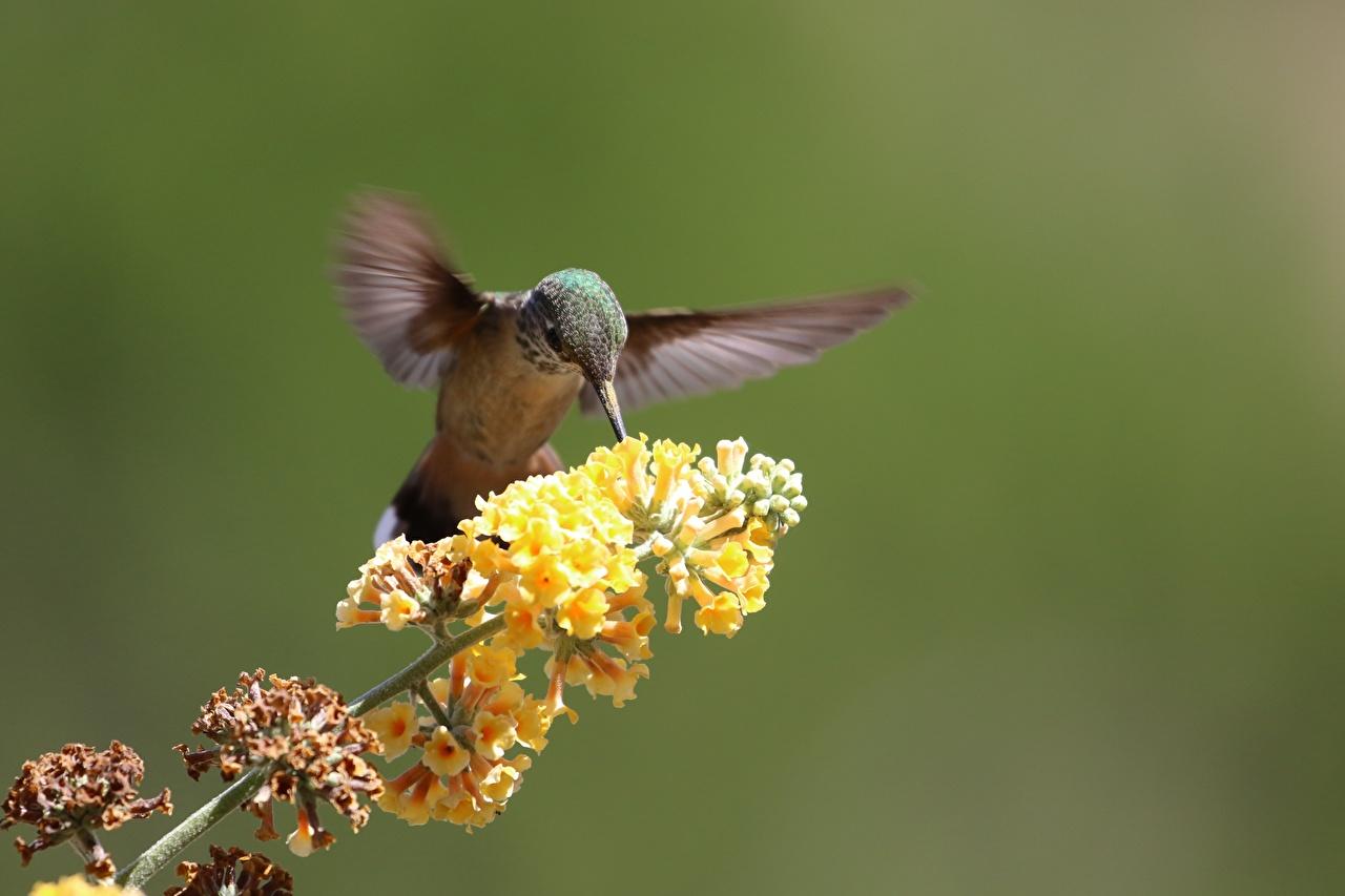 Фотографии птица Колибри Размытый фон ветка Животные Птицы боке ветвь Ветки на ветке животное