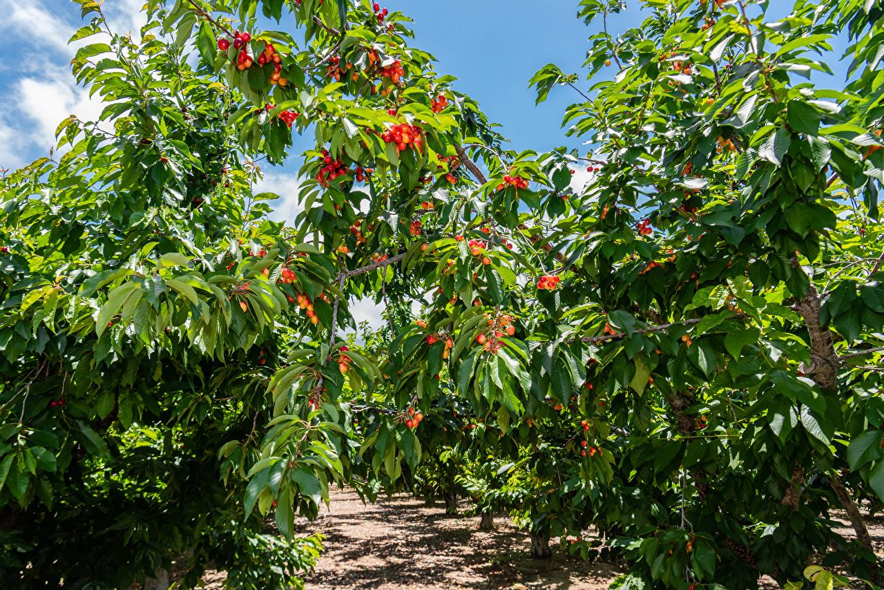 Фото Листья Природа Сады Черешня ветвь дерево лист Листва Вишня Ветки ветка на ветке дерева Деревья деревьев