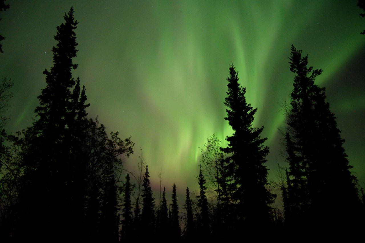 Картинка Силуэт Полярное сияние Ель Природа Ночь дерево силуэты силуэта северное сияние ели ночью в ночи Ночные дерева Деревья деревьев