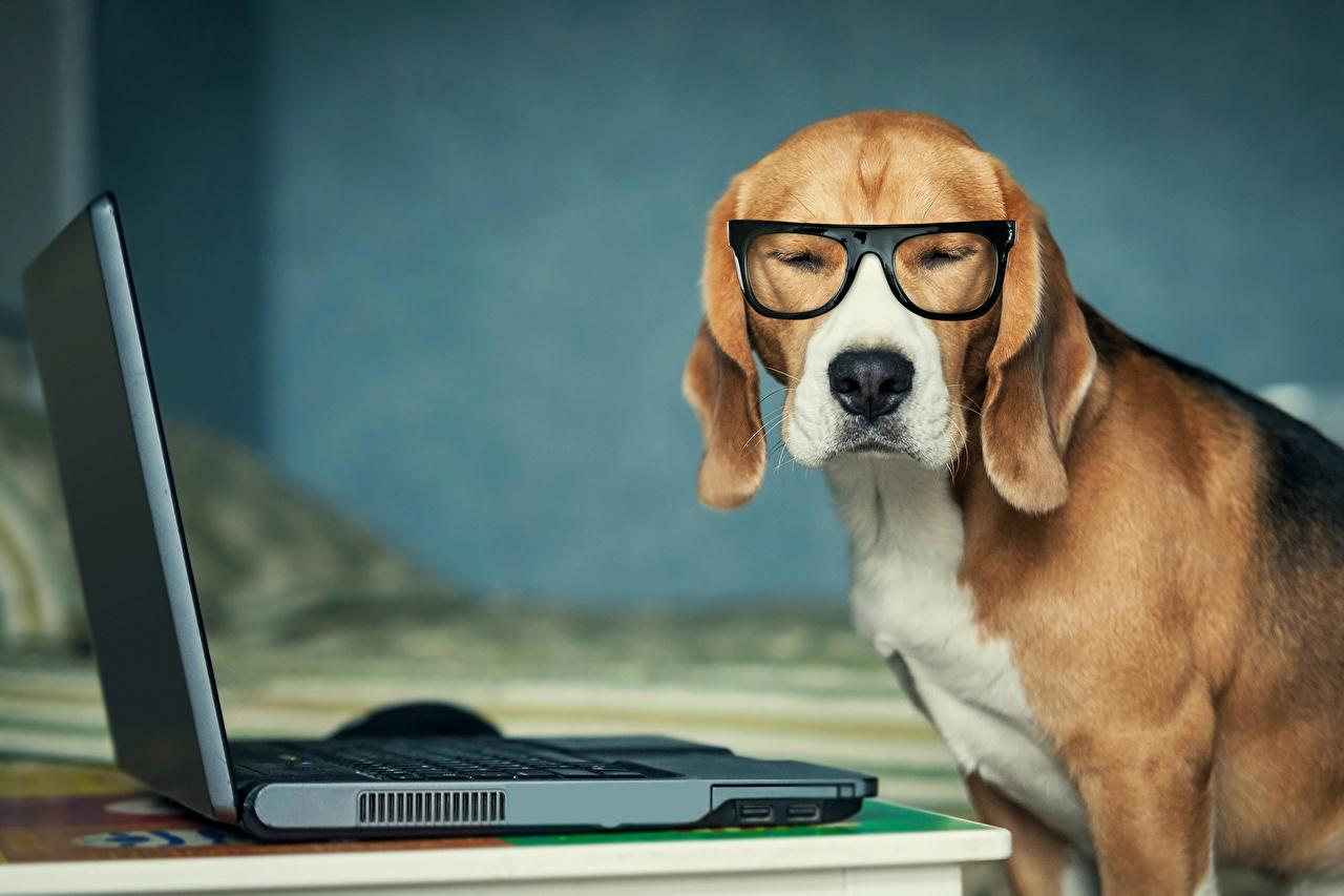 Обои для рабочего стола Бигль ноутбук собака Очки животное бигля Ноутбуки Собаки очках очков Животные
