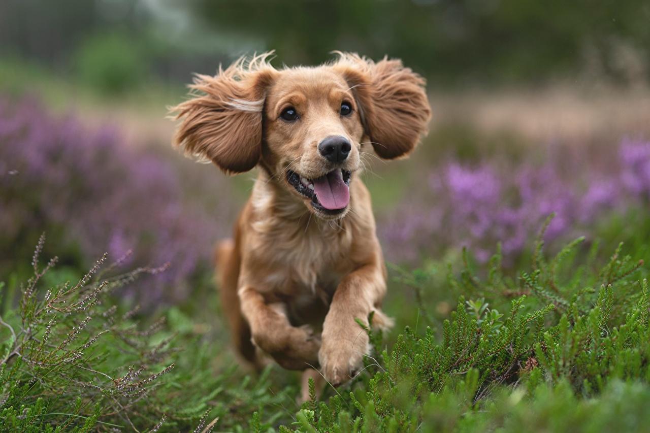 Картинка Спаниель Собаки бегущий Размытый фон Трава животное спаниеля собака Бег бежит бегущая боке траве Животные