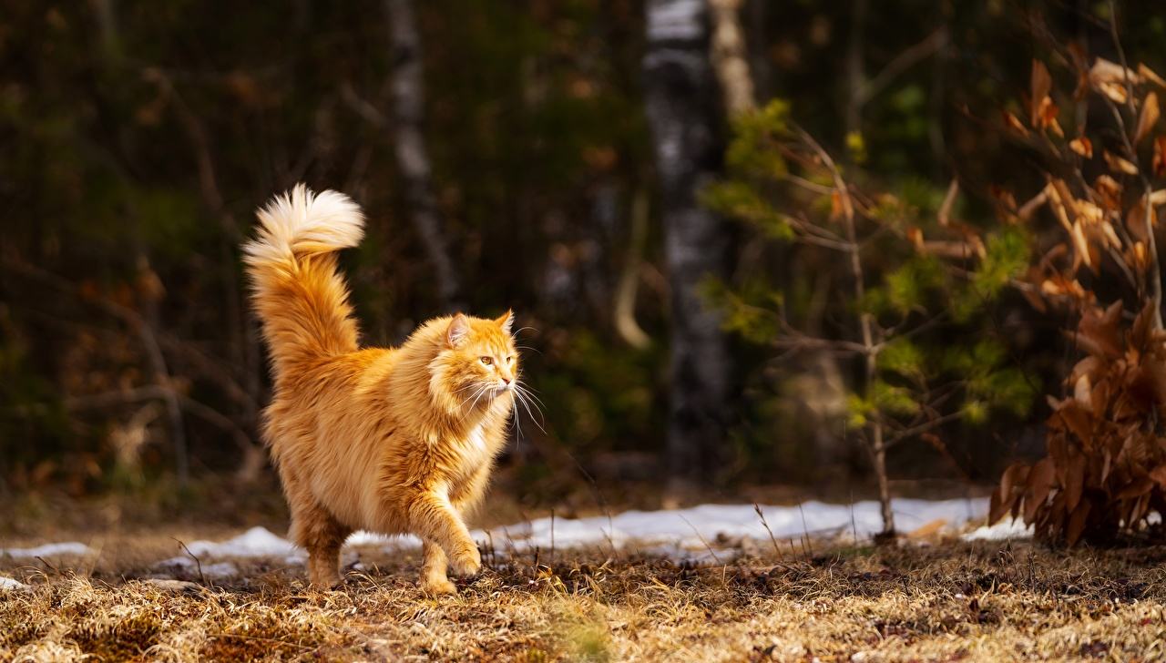 Фотографии Кошки Рыжая боке Прогулка Животные кот коты кошка рыжих рыжие Размытый фон идет ходьба гуляет животное