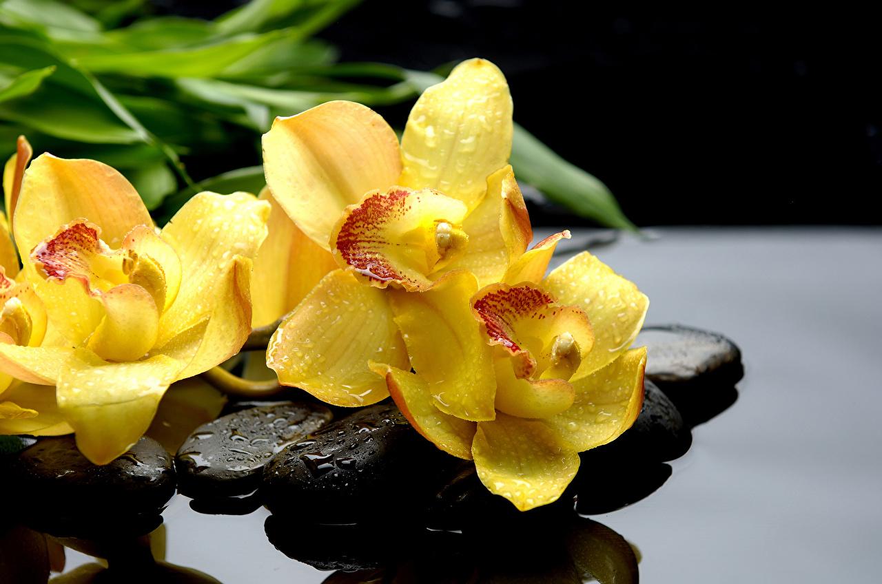 Фотография Желтый Орхидеи Капли цветок Камень вблизи желтых желтые желтая орхидея Цветы капля капель капельки Камни Крупным планом
