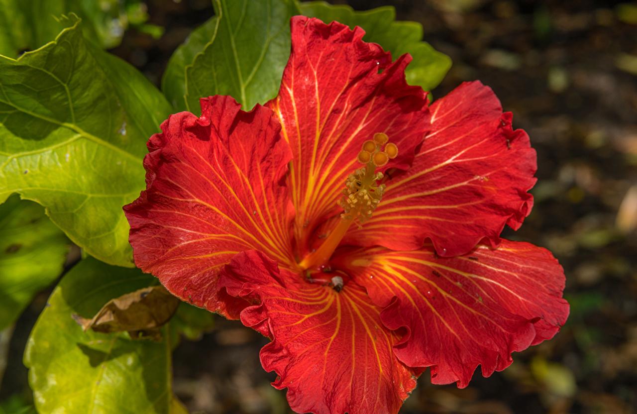 Фотографии красных Цветы Гибискусы Крупным планом Красный красные красная вблизи