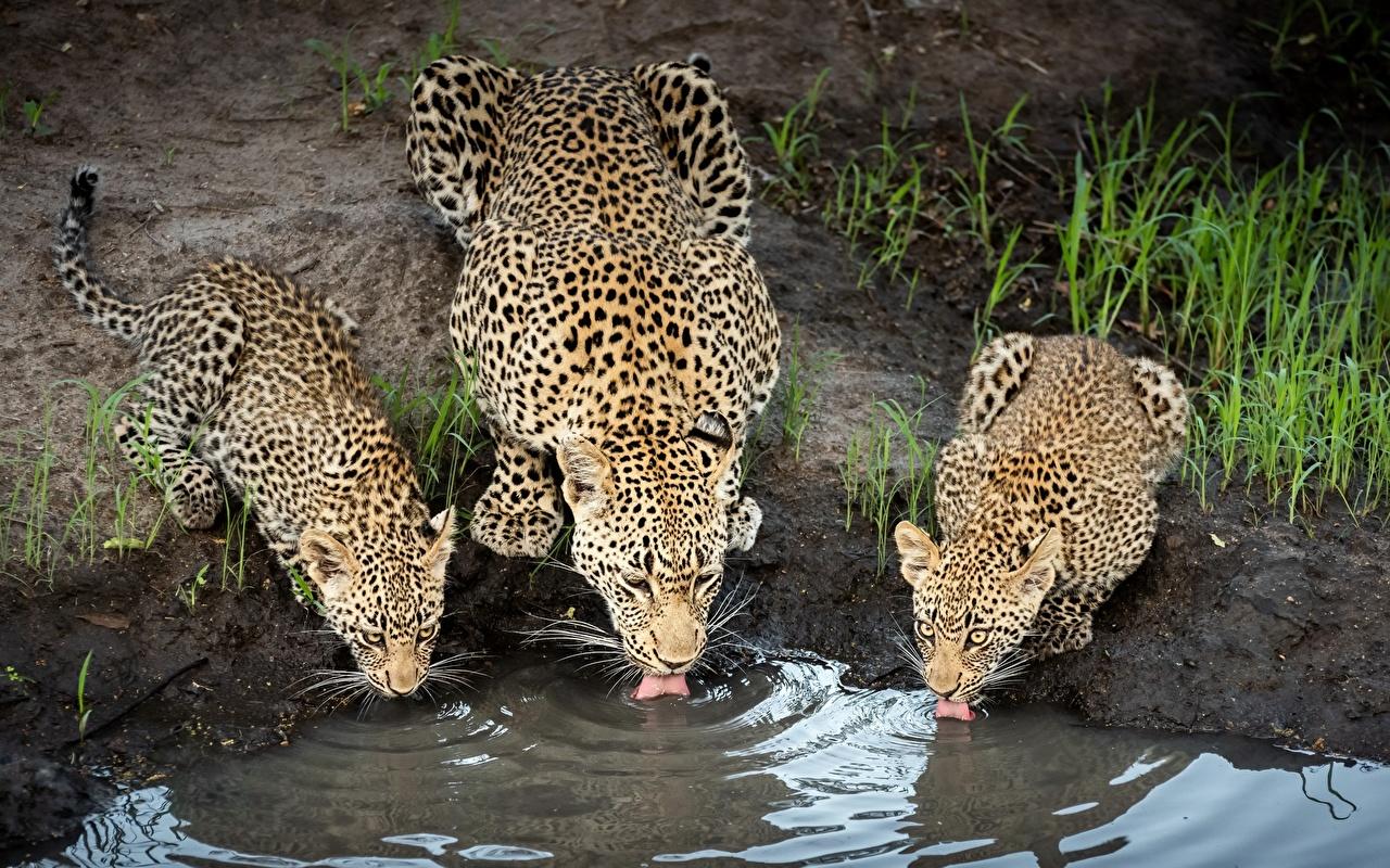 Картинки Леопарды Пьет воду втроем Животные Трое 3