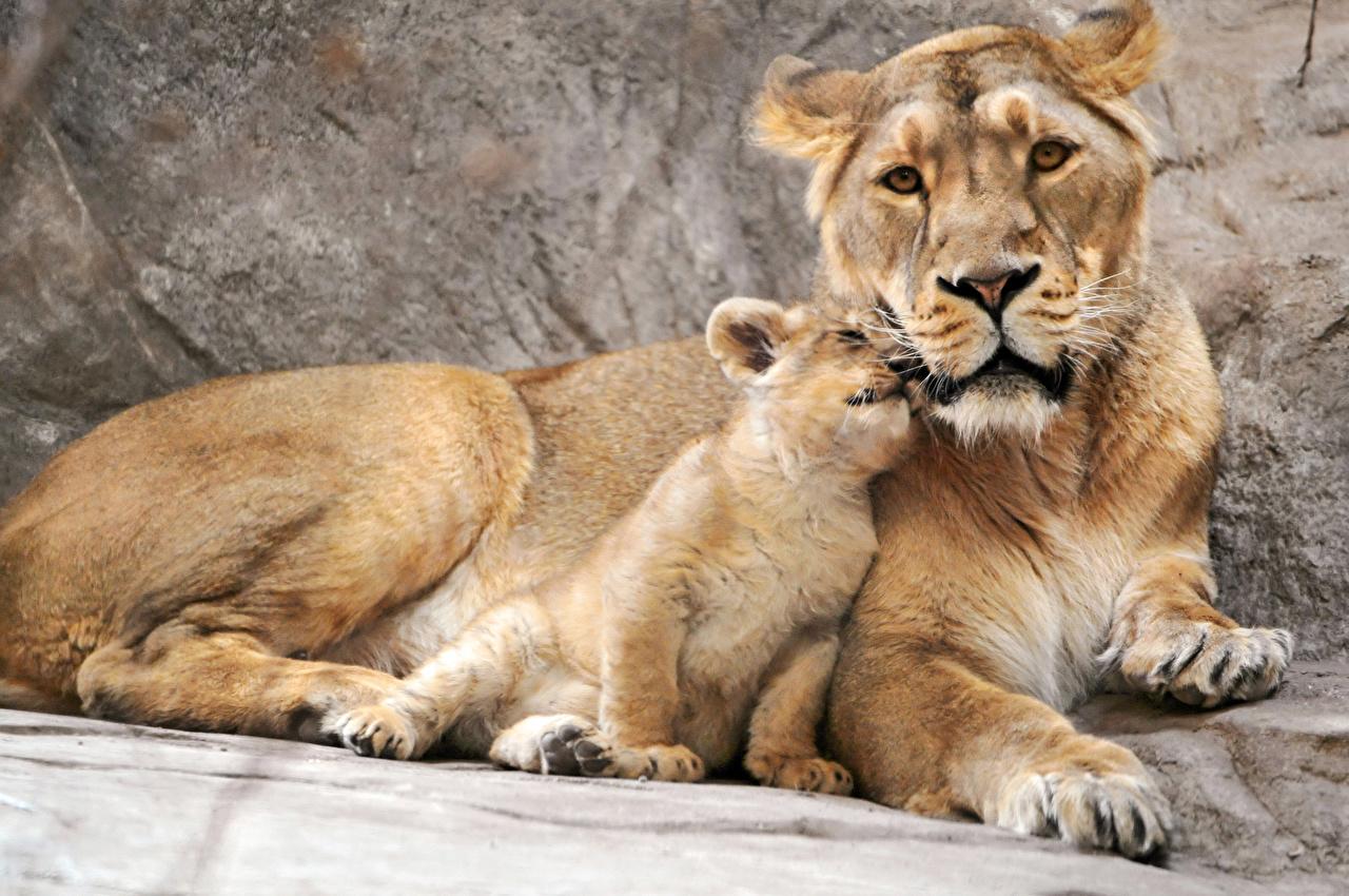 Картинка Львы Львица Большие кошки Детеныши смотрят животное лев Взгляд смотрит Животные