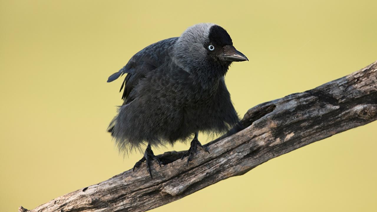 Картинка птица Western jackdaw ветка животное Птицы ветвь Ветки на ветке Животные