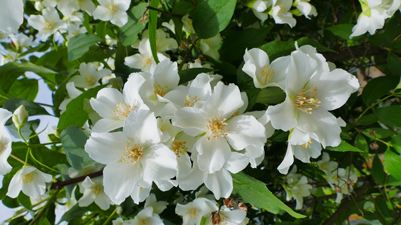Картинки Jasmine Белый Цветы вблизи Крупным планом