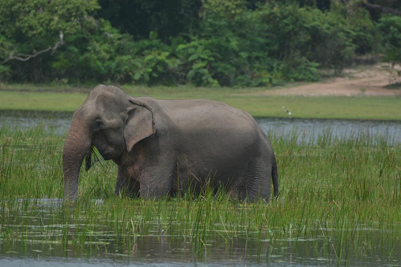 Картинка Слоны Вода Трава Животные траве животное