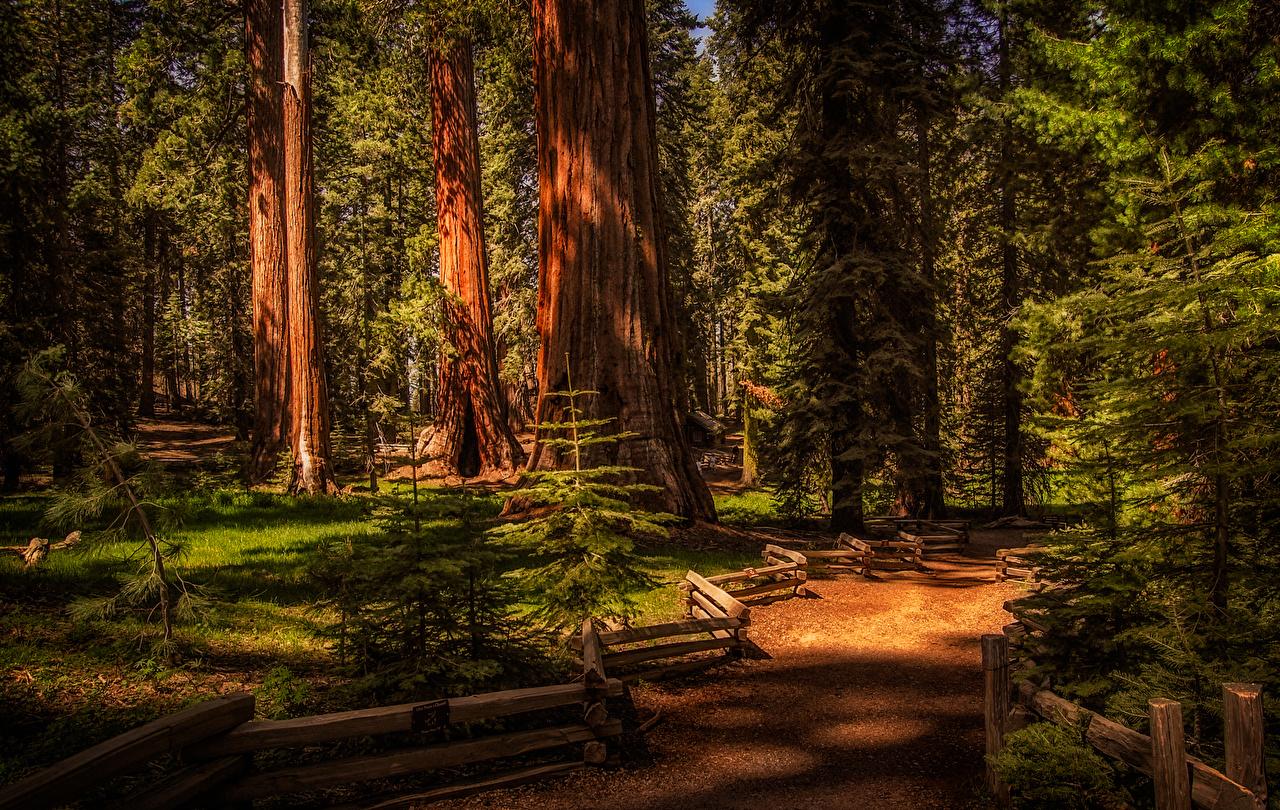 Обои для рабочего стола США Sequoia National Park Ель Природа парк ограда деревьев штаты ели Парки Забор забора забором дерево дерева Деревья