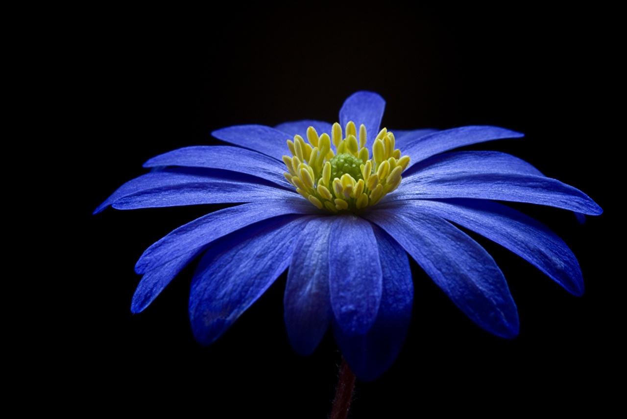 Картинки Balkan Anemone blanda Цветы Лепестки  Ветреница Синий Черный фон Крупным планом вблизи